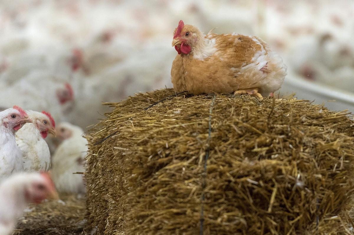 Masthühner auf einem Betrieb der Einstiegstufe