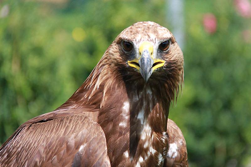 Unbekannter vergiftet Greifvögel