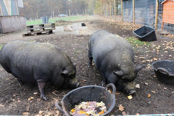 Notfall Schweine