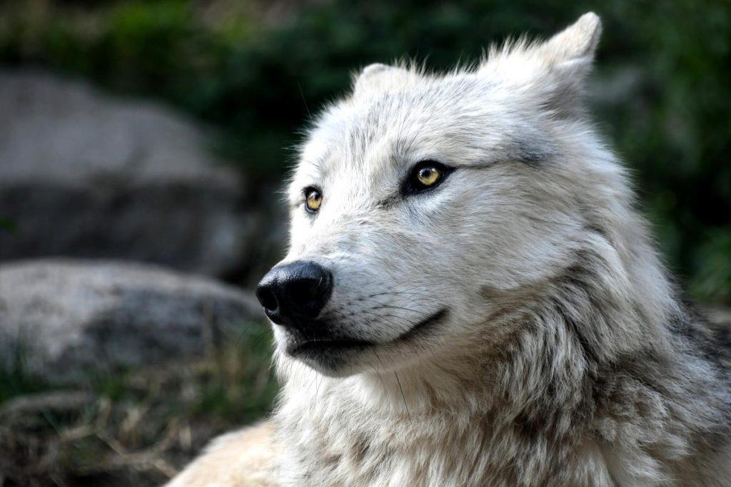 Wolf Tötung